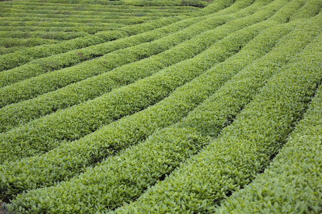 Tea field_Fair Trade photo